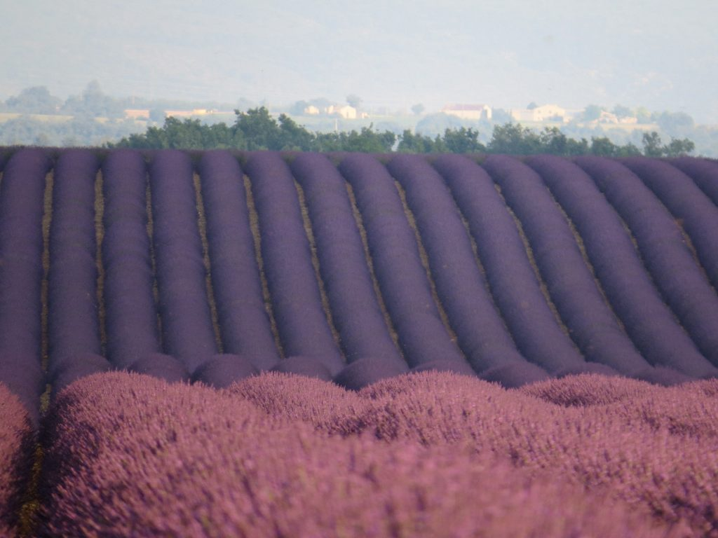 Campos de lavanda Provence